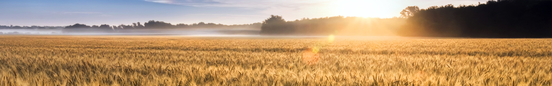 Ag Loans Banner, Wheat Field, Sunrise