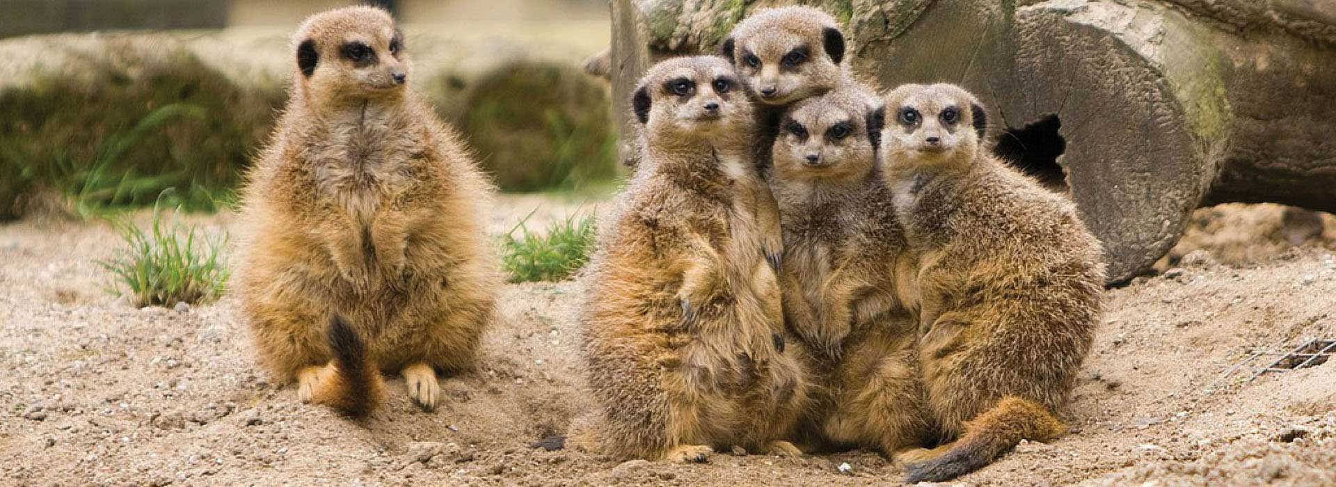 meerkats, family, funny, odd one out